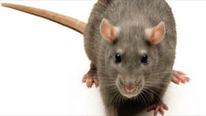 drömma om råttor